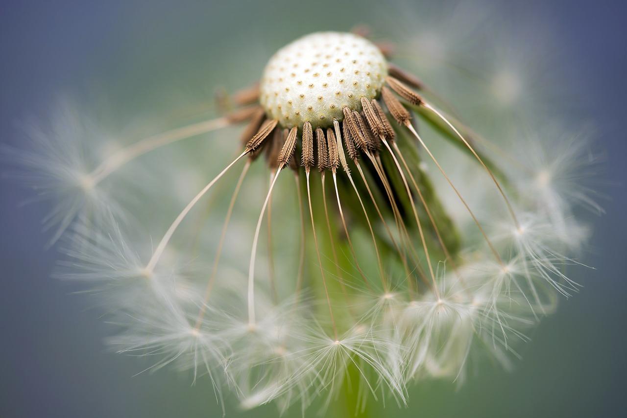 common-dandelion-335662_1280.jpg