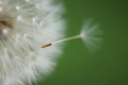 dandelion-1043784_1280