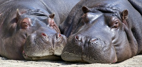 hippo-783522_1280