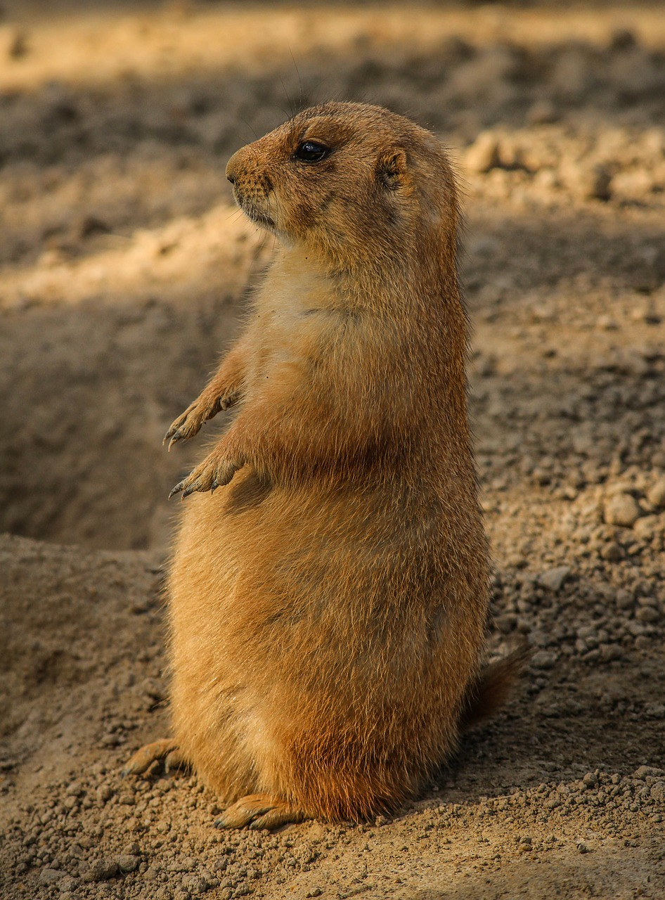 prairie-dog-204709_1280