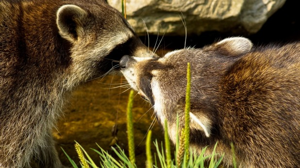raccoon-947241_1280.jpg