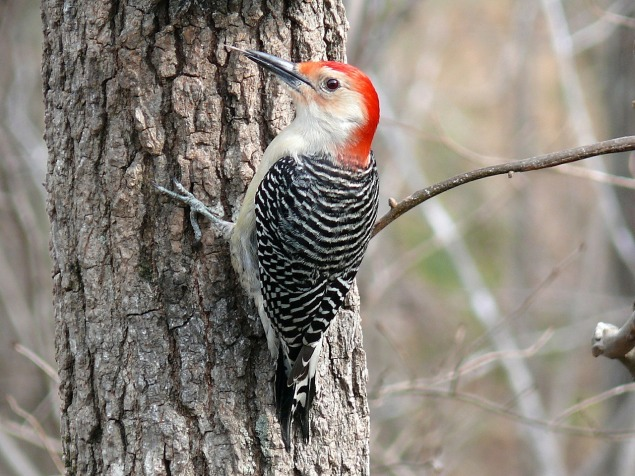 red-bellied-woodpecker-610723_1280