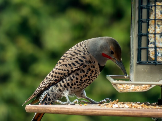 woodpecker-347116_1280
