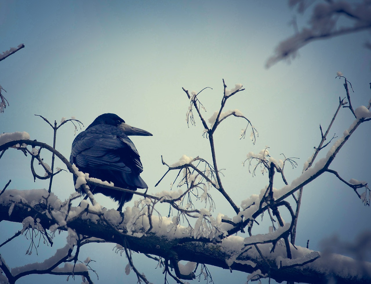 crow-631740_1280