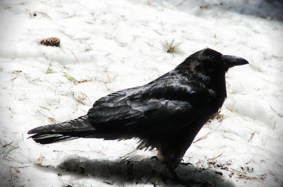raven-242670_1280.jpg