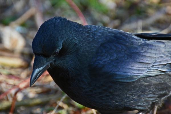 raven-643511_1280