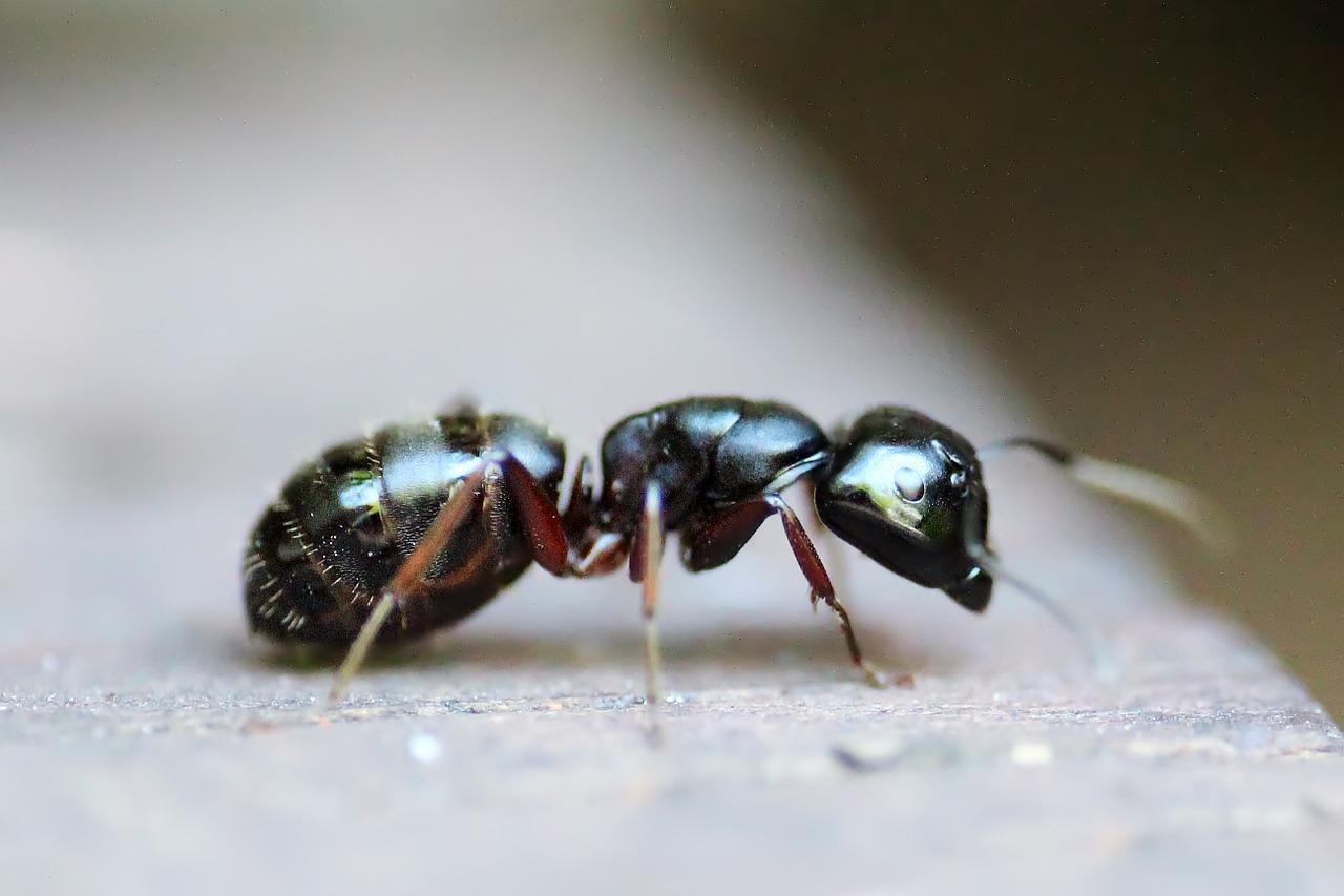 ant-453348_1280