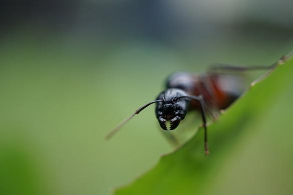 ant-807262_1280