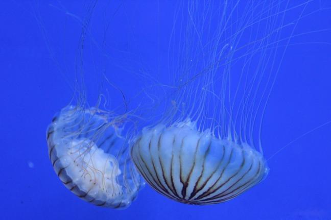 jellyfish-1343351_1280