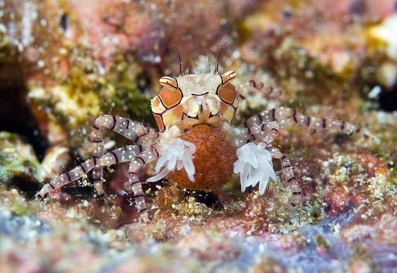 Boxer_Crab_carrying_eggs_-_Lybia_tessellata_(cropped)