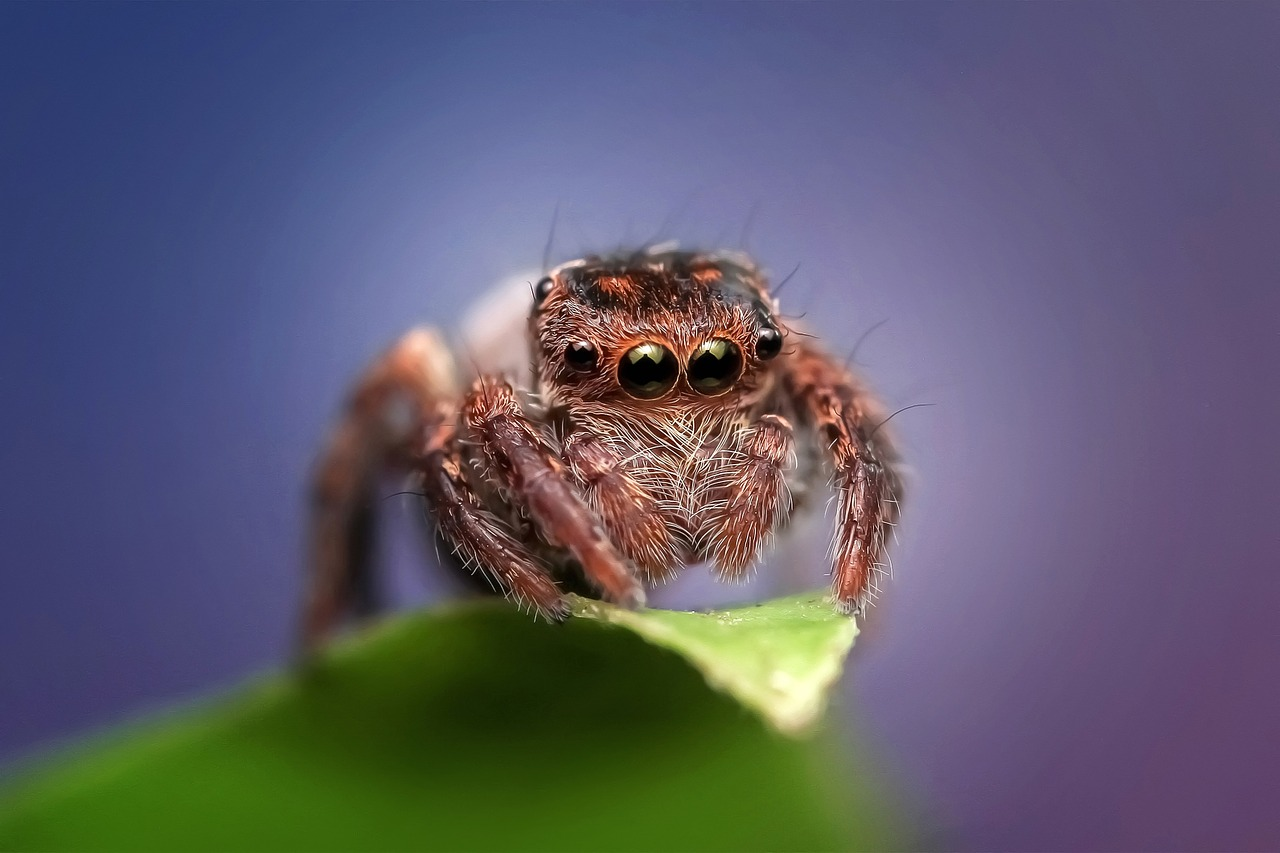 jumping-spider-1183412_1280