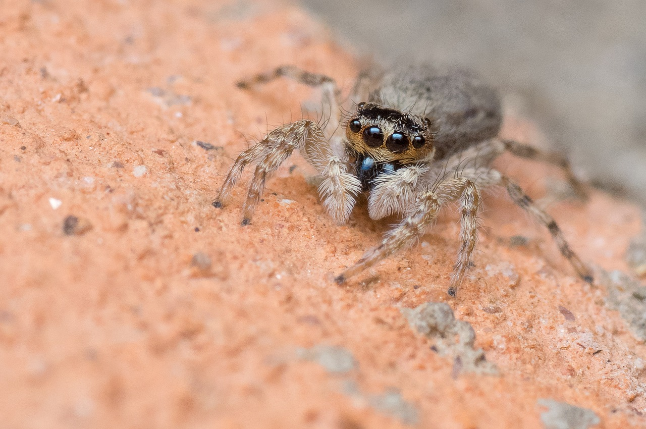 jumping-spider-447311_1280