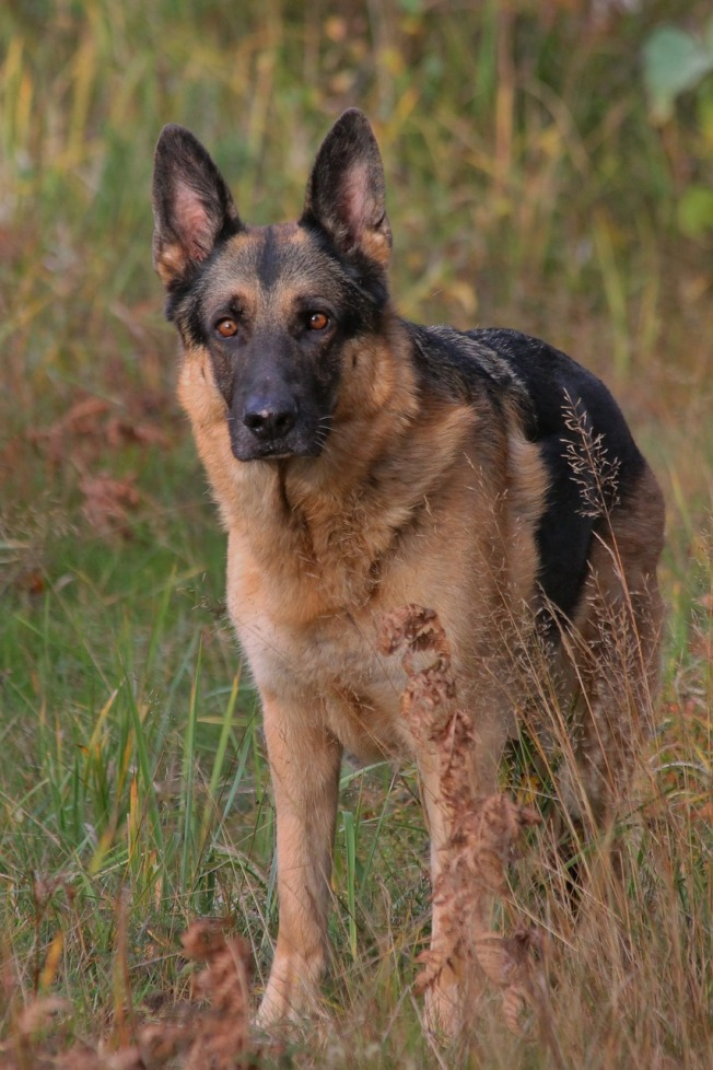 german-shepherd-464612_1280