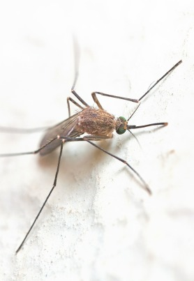 mosquito-387707_1280