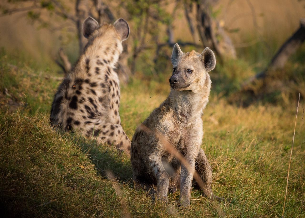 hyena-1022409_1280