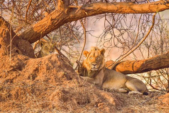 lion-2502785_1280
