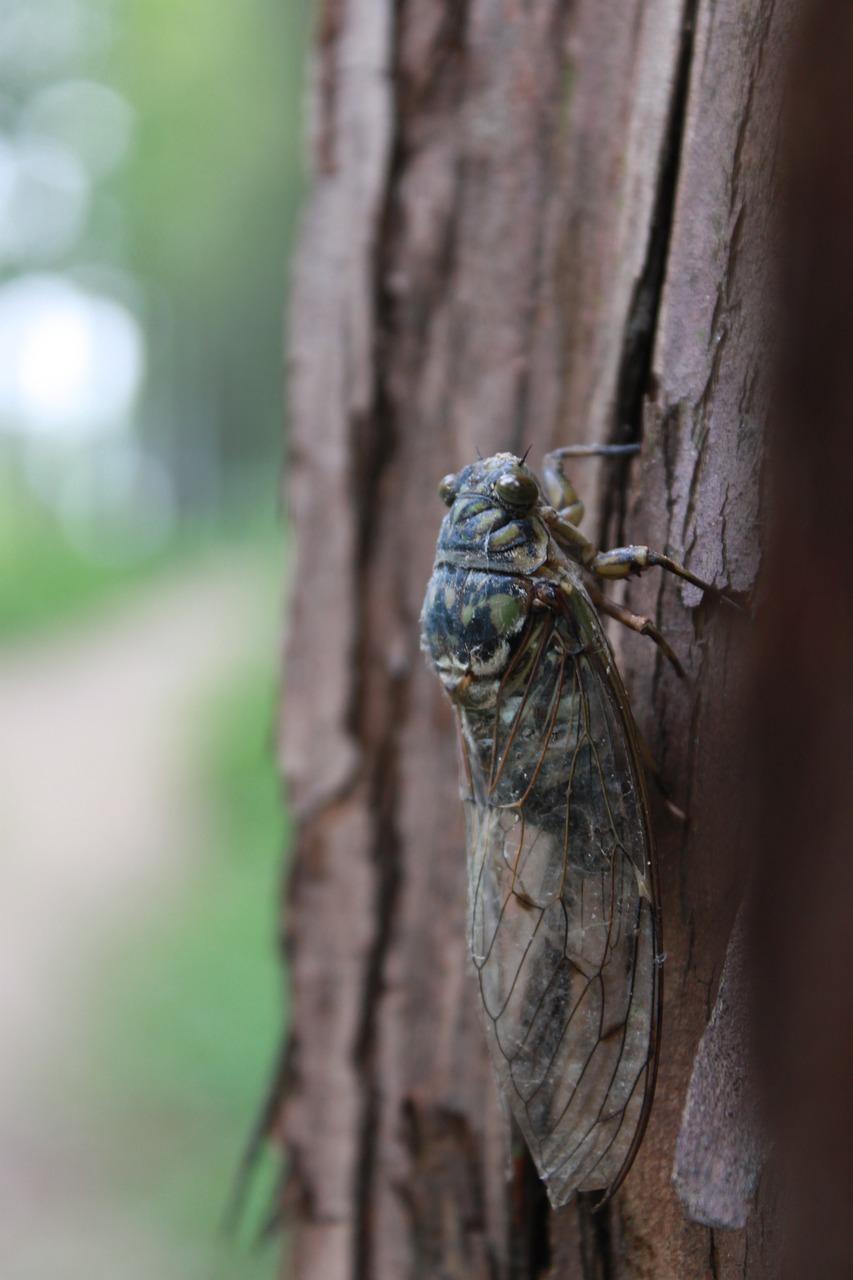 cicada-3539352_1280