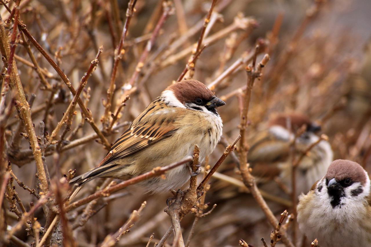 sparrow-4809661_1280