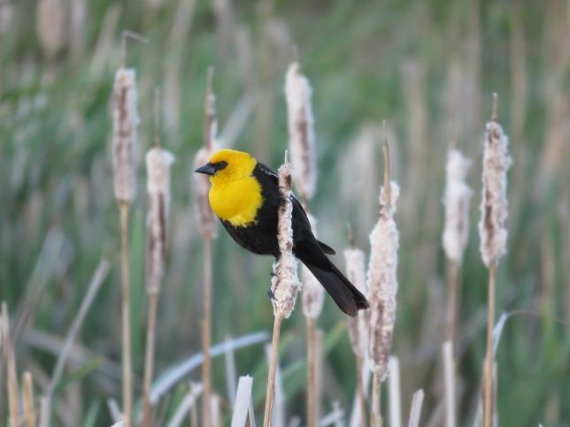 male-yellow-headed-blackbird-1427775_1280