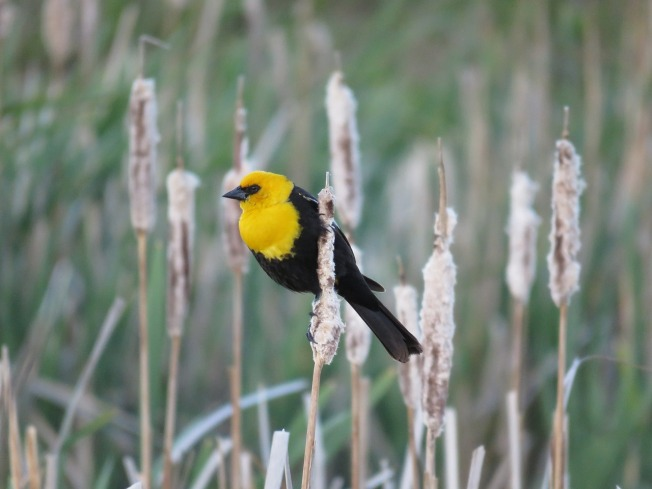 male-yellow-headed-blackbird-1427775_1280