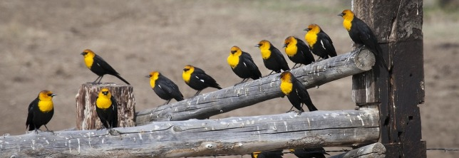 yellow-headed-blackbirds-936692_1280